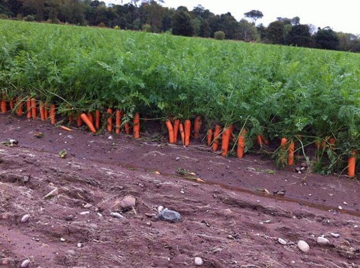 На фото Генетики вывели морковь которая самовыкапывается