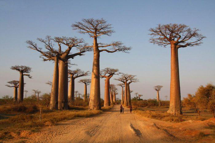 На фото Древнейшее дерево на Земле и целебный эффект его плодов